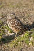 burrowing-owl-picture;burrowing-owl;owl-in-burrow;athene-cunicularia;burrowing-owl-on-burrow;florida-owl;ground-owl;underground-owl;small-owl;north-america-owl;owl;cape-coral