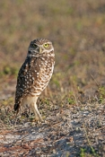 burrowing-owl-picture;burrowing-owl;owl-in-burrow;athene-cunicularia;burrowing-owl-on-burrow;florida-owl;ground-owl;underground-owl;small-owl;owl;cape-coral;north-america-owl