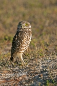 burrowing-owl-picture;burrowing-owl;owl-in-burrow;athene-cunicularia;burrowing-owl-on-burrow;florida-owl;ground-owl;underground-owl;small-owl;steven-david-miller