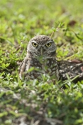 burrowing-owl-picture;burrowing-owl;owl-in-burrow;athene-cunicularia;burrowing-owl-in-burrow;florida-owl;ground-owl;underground-owl;small-owl;intense;curious;attentive;owl;north-america-owl;cape-coral