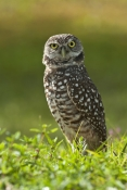 burrowing-owl-picture;burrowing-owl;owl-in-burrow;athene-cunicularia;burrowing-owl-on-burrow;florida-owl;ground-owl;underground-owl;small-owl;intense;curious;attentive;owl;north-america-owl;cape-coral