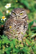 florida-burrowing-owl;burrowing-owl;owl;small-owl;athene-cunicularia;owl-standing;owl-with-yellow-eyes;endangered-owl;endangered-species;florida-owl;florida-bird;owl-looking-in-camera;florida-keys;north-american-owl;steven-david-miller