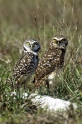 BIRDS;BIRDS-OF-PREY;MALE-FEMALE-PAIR;NESTS;OWLS;USA;VERTEBRATES;VERTICAL;burrowing-owl;athen-cunicularia