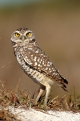 BIRDS;BIRDS-OF-PREY;OWLS;PORTRAITS;USA;VERTEBRATES;VERTICAL