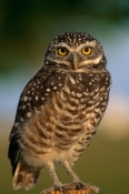 ATHENE-CUNICULARIA;BIRDS;BIRDS-OF-PREY;OWLS;PORTRAITS;USA;VERTEBRATES;VERTICAL;north-america