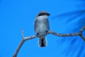 loggerhead-shrike;shrike;loggerhead-shrike-fledgling;lanius-ludovicianus;fledgling;shrike-on-tree-branch;bird-on-tree-branch;bird-with-blue-sky;florida-bird;southern-united-states-bird;steven-david-miller