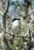 BIRDS;Laniidae;PORTRAITS;SHRIKES;USA;VERTEBRATES;VERTICAL;loggerhead-shrike;lanius-ludovicianus