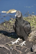 black-vulture-picture;black-vulture;american-black-vulture;vulture;scavanger;scavanger-bird;florida-birds;florida-national-parks;everglades-birds;everglades-national-park