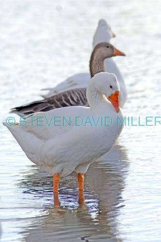 greylag goose picture;greylag goose;white goose;grey goose;goose;domesticated goose;anser anser;bundaberg botanical gardens