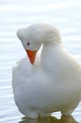 greylag-goose-picture;greylag-goose;white-goose;grey-goose;goose;domesticated-goose;anser-anser;lilyponds;mapleton