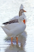 greylag-goose-picture;greylag-goose;white-goose;grey-goose;goose;domesticated-goose;anser-anser;bundaberg-botanical-gardens