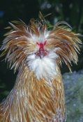 rooster-picture;rooster;exotic-rooster;rooster-with-head-dress;gallus-gallus;male-gallus-gallus;rooster-breed;silly-bird;crazy-looking-bird;bird-with-gold-feathers;steven-david-miller