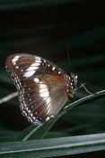 ARTHROPODS;AUSTRALIA;BUTTERFLIES;INSECTS;INVERTEBRATES;LEPIDOPTERA;PROFILE;VERTICAL;HYPOLIMNAS-ALIMENA