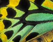 cairns-birdwing-butterfly-picture;cairns-birdwing-butterfly;ornithoptera-euphorion;australian-butterfly;butterfly-wing;cairns-birdwing-butterfly-wing;steven-david-miller;natural-wanders