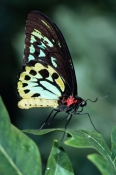 AUSTRALIA;BUTTERFLIES;INSECTS;INVERTEBRATES;LEPIDOPTERA;ORNITHOPTERA-PRIAMUS;SWALLOWTAIL-BUTTERFLIES;VERTICAL