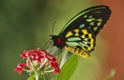AUSTRALIA;BUTTERFLIES;INSECTS;INVERTEBRATES;LARGE;LEPIDOPTERA;ORNITHOPTERA-PRIAMUS;SIZE;SWALLOWTAIL-BUTTERFLIES