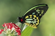 AUSTRALIA;BUTTERFLIES;COLOURFUL;FLOWERS;INSECTS;INVERTEBRATES;LEPIDOPTERA;ORNITHOPTERA-PRIAMUS;SWALLOWTAIL-BUTTERFLIES