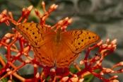 orange-butterfly