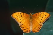 AUSTRALIA;BUTTERFLIES;INSECTS;INVERTEBRATES;ORANGE;ARTHROPODS;LARGE;LEPIDOPTERA;SIZE;VINDULA-ARSINOE
