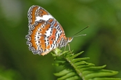 orange-lacewing-butterfly-picture;orange-lacewing-butterfly;orange-butterfly;australian-butterfly;butterfly-house-coffs-harbour;butterfly-on-fern-frond;steven-david-miller;natural-wanders