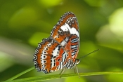 Orange Lacewing