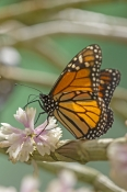 Monarch Butterfly (Introduced)