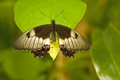 orchard-butterfly-picture;orchard-butterfly;papilio-aegeus;australian-butterfly;butterfly-farm;kuranda-butterfly-farm;kuranda;queensland;butterfly-with-wings-open;butterfly-on-leaf;butterfly-wings;buttefly-body;green;steven-david-miller