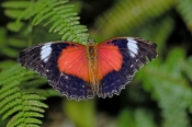red-lacewing-butterfly-picture;red-lacewing-butterfly;australian-butterfly;lacewing-butterfly;butterfly-house-coffs-harbour;steven-david-miller;natural-wanders