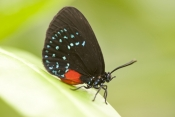 atala-butterfly-picture;atala-butterfly;eumaeus-atala;threatened-butterfly;extinct-butterfly;butterfly-conservation-program;south-florida-butterfly;southern-florida-butterfly;bahamas-butterfly;butterflies-of-the-bahamas;butterflies-of-florida;butterfly-garden;butterfly-enclosure;naples-botanical-gardens