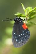 atala-butterfly-picture;atala-butterfly;eumaeus-atala;threatened-butterfly;extinct-butterfly;butterf