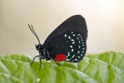 atala-butterfly-picture;atala-butterfly;eumaeus-atala;threatened-butterfly;extinct-butterfly;butterfly-conservation-program;south-florida-butterfly;southern-florida-butterfly;bahamas-butterfly;butterflies-of-the-bahamas;butterflies-of-florida;butterfly-garden;butterfly-enclosure;naples-botanical-gardens;naples;southwest-florida;steven-david-miller