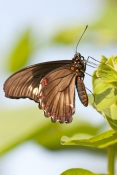 eastern-black-swallowtail-butterfly-picture;eastern-black-swallowtail-butterfly;black-swallowtail-bu