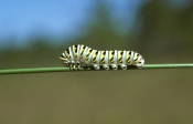 black-swallowtail-larvae;butterfly-larvae;larvae;last-instar-of-larvae-phase;metamorphasis;butterfly-metamorphasis;instar-phase;corkscrew-swamp-sanctuary;larvae-phase;florida-butterflies;florida-butterfly