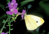 cloudless-sulphur-butterfly;sulphur-butterfly;phoebis-sennae;yellow-butterfly;small-butterfly;florida-butterfly