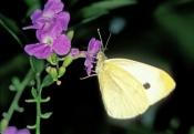 cloudless-sulphur-butterfly;sulphur-butterfly;phoebis-sennae;yellow-butterfly;small-butterfly;florid