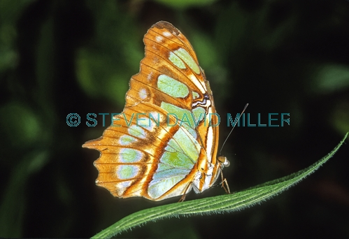 malachite butterfly picture;malachite butterfly;malachite butterfly with wings closed;siproeta stelenes;butterfly;green and gold butterfly;florida butterfly;butterfly portrait;pretty butterfly;horizontal butterfly picture;american butterfly;steven david miller