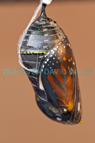 monarch butterfly chrysalis picture;monarch butterfly chrysalis;milkweed butterfly chrysalis;danaus plexippus;monarch butterfly wings in chrysalis;butterfly chrysalis;monarch butterfly metamorphasis;butterfly garden;butterfly enclosure;naples botanical gardens;naples;southwest florida;steven david miller