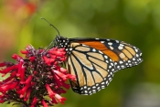 monarch-butterfly-picture;monarch-butterfly;milkweed-butterfly;danaus-plexippus;monarch-butterfly-on-red-flower;monarch-butterfly-wings-closed;monarch-butterfly-head;butterfly;orange-butterfly;black-and-orange-butterfly;pretty-butterfly;stained-glass-pattern;monarch-butterfly-detail;butterfly-garden;butterfly-enclosure;naples-botanical-gardens;naples;southwest-florida;steven-david-miller