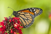 monarch-butterfly-picture;monarch-butterfly;milkweed-butterfly;danaus-plexippus;monarch-butterfly-on