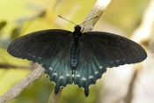 pipevine-swallowtail-butterfly-picture;pipevine-swallowtail-butterfly;pipevine-swallowtail;swallowtail-butterfly;battus-philenor;papilionidae-butterfly-family;black-butterfly;butterfly-garden;butterfly-enclosure;naples-botanical-gardens;naples;southwest-florida;steven-david-miller