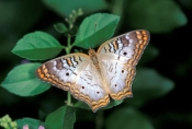 white-peacock-butterfly-picture;white-peacock-butterfly;peacock-butterfly;small-butterfly;florida-butterflies;florida-butterfly;everglades-national-park;south-florida-butterfly