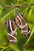 zebra-longwing-butterfly-picture;zebra-longwing-butterfly;zebra-longwing;zebra-butterfly;heliconius-charitonius;black-and-white-butterfly;state-butterfly-of-florida;florida-state-butterfly;butterflies-of-florida;butterfly-garden;butterfly-enclosure;naples-botanical-gardens;naples;butterflies-mating;mating-butterflies