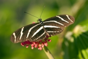 zebra-longwing-butterfly-picture;zebra-longwing-butterfly;zebra-longwing;zebra-butterfly;heliconius-charitonius;black-and-white-butterfly;state-butterfly-of-florida;florida-state-butterfly;butterflies-of-florida;butterfly-garden;butterfly-enclosure;naples-botanical-gardens;naples;southwest-florida;steven-david-miller