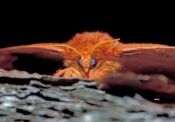 io-moth;moth;furry-moth;orange-moth;moth-at-night;nocturnal-moth;pine-woodland