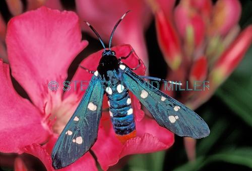 polka-dot wasp moth picture;polka-dot wasp moth;polka dot wasp moth;polka dot moth;oleander moth;syntomeida epilais;polka dot wasp moth on oleander;oleander moth on oleander;moth with polka dots;polka dots