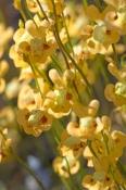 bladderwort;carnivorous-plants;utricularia-fulva;mount-borradaile;arnhem-land;arnhemland;kakadu-national-park;northern-territory;top-end
