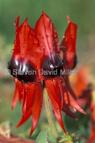 sturts desert pea;native australian pea;red pea;pea flower;clianthus formosus;family fabaceae
