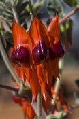 sturts-desert-pea;sturts-desert-pea;south-australia-floral-emblem;swainsonia-formosa;clianthus-formosus;red-wildflower;red-pea-flower;wildflower;watarrka-national-park;kings-canyon-national-park