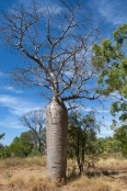 bottle-tree;baobab