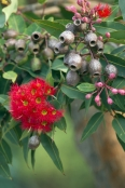 gum-tree;gumtree;flowering-gum-tree